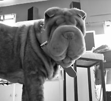 Ralph The Shar Pei by jadey182