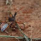 Assassin bug by kirribas30