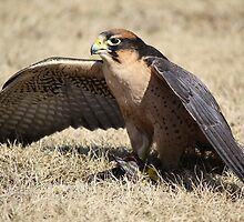 Lanner Falcon eating his Prey by Paulette1021