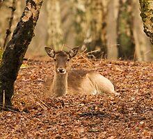 Deer by jtmwood