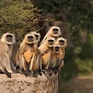Black faced monkeys, Ranthambore, Rajasthan, India by Christopher Cullen