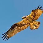 Osprey by Daniel  Parent