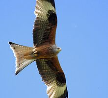 Red Kite over Oxfordshire by Mark Hughes
