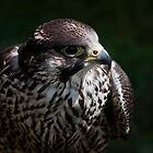 Hawk by ©FoxfireGallery / FloorOne Photography