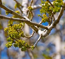 Newborn buds on our Arizona Ash tree by Ann Reece
