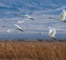 Swans in Flight by Jeffrey  Sinnock
