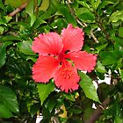 Lonesome Hibiscus by birchk
