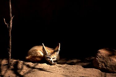 ~Sleeping Little Fennec Fox~ by a~m .