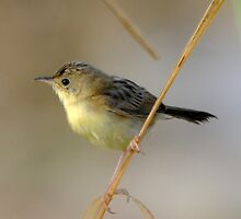 Golden Headed Cisticola - Mt Ossa near Mackay by Alwyn Simple