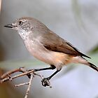 Chestnut Rumped Thornbill - Yowah by Alwyn Simple