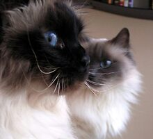 Gracious Birman cats Puk & Bibi by patjila