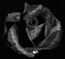 Scratchboard Rose by Kyle Bustamante