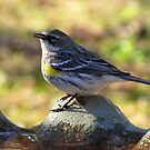 Yellow-rumped Warbler (Dendroica coronata) by Kyle Wolff