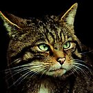 Scottish Wildcat by Linda More