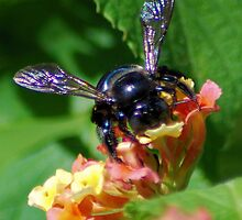 Bumblebee on Lantana by Ben Waggoner
