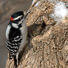 Downy Woodpecker by jules572