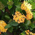 Yellow Ixora Blooms by 3Cavaliers