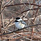 Black-capped Chickadee by jules572