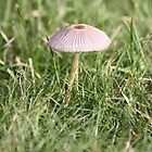 Toadstool on the lawn by squonk1666