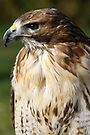 Red Tailed Buzzard by Debbie Ashe