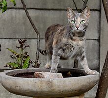 Kitten on a bird bath by ambermay