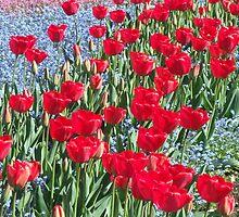 Tulips by TrueColoursNZ