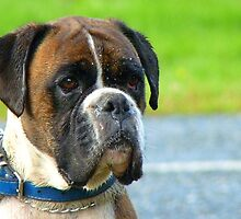 Beautiful Jowls! - Boxer Dog - NZ by AndreaEL