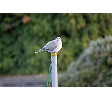 Pigeon on Pole Photographic Print