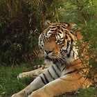 Tiger in the bushes @ Colchester Zoo by claireandcoco