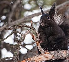 Black Abert's Squirrel by Jay Ryser