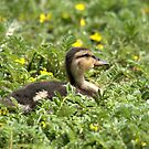 Little Darling Duck by Sean Jansen