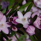 Australian Wildflowers- Eriostemon australasius by Gabrielle  Lees