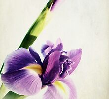 Purple Iris. by Aj Finan