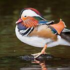Mandarin duck (Aix galericulata) preening by Gabor Pozsgai