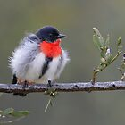 Mistletoebird - Cunnamulla, Queensland by Rob Drummond