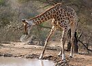 Giraffe Drinking Spray by Michael  Moss