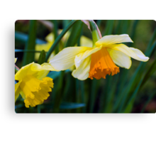 Daffodils...Sure Sign of Spring Canvas Print