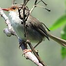 Femail Superb Fairy Wren! by KiriLees