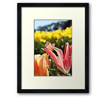Pink lily tulips and yellow tulips   Framed Print