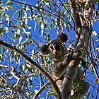 koala bear by rossandcher