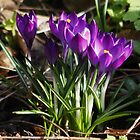 Crocus&#x27; Growing from the Soil in February (Spring) by AnnDixon