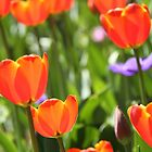Orange tulips by papillonphoto