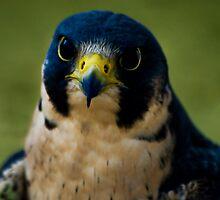 Peregrine Falcon by Sue Ratcliffe
