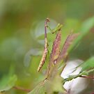 """Autumn Camouflage"" - praying mantis by John Hartung"