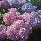 Hydrangeas by YorksSherman