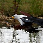 African Fish Eagle by Mark Hughes