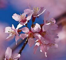 Spring Pops Its Cherry Early by Lee Hiller