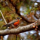 The first red breasted robin of spring! by divya vijay pratheek