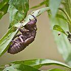 Cicada Nymph by BoB Davis