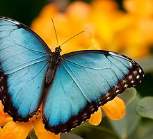 Peleides Blue Morpho by Tracey  Dryka